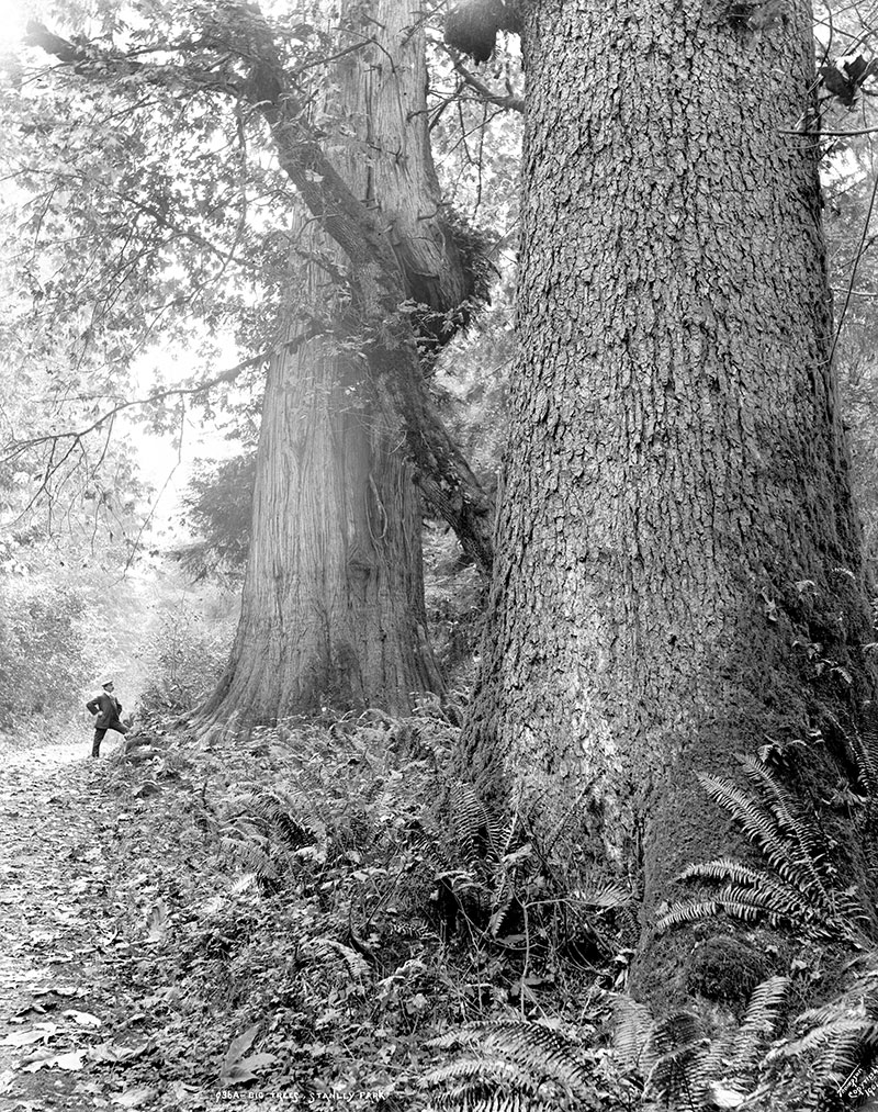 In the history of Stanley Park many of its giant trees have died from natural causes, including storms. Photo by Stephen Joseph Thompson, 1898, City of Vancouver Archives #137-64