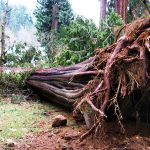Big_tree_down