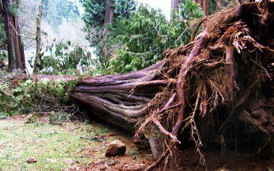 Big_tree_down