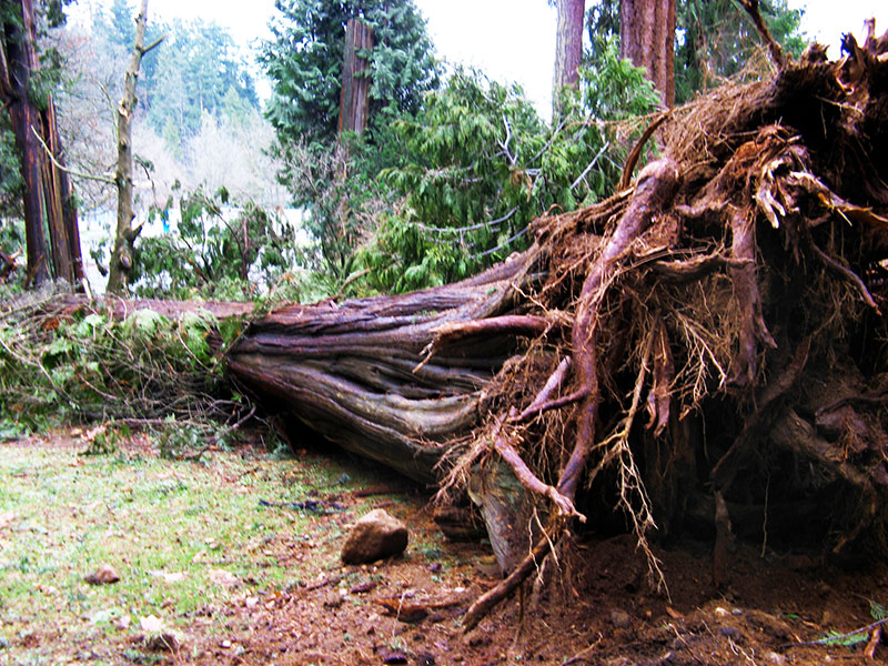A big tree knocked down in Stanley Park by the 2006 storm.