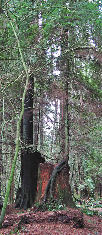 Many stumps of trees knocked down in storms can be seen in Stanley Park with younger trees growing out of them.