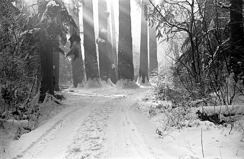 The Seven Sisters, a cluster of large trees that were once a landmark in Stanley Park. Park staff tried to preserve them but they died and had to be removed for safety reasons in the 1950s. Photo by James Crookall, City of Vancouver Archives #260-581