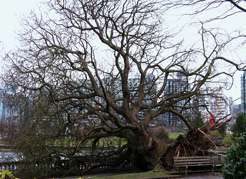 A large tree uprooted in Stanley Park by the 2006 storm. This one was left for children to climb on.