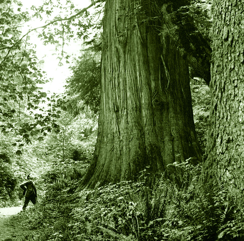 A man and big trees in Stanley Park, 1902. Photo by Philip T Timms (cropped), City of Vancouver Archives #677-727